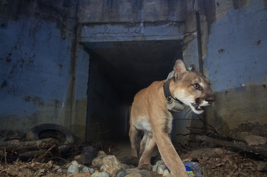 Mountain lion P-64, victim of the Woolsey fire in 2018. Courtesy National Park Service, via Los Angeles Daily News